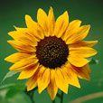 Возникновение и развитие искусства аранжировки цветов