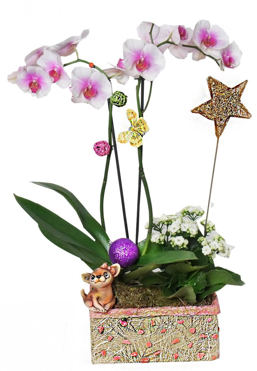 Орхидея - звезда