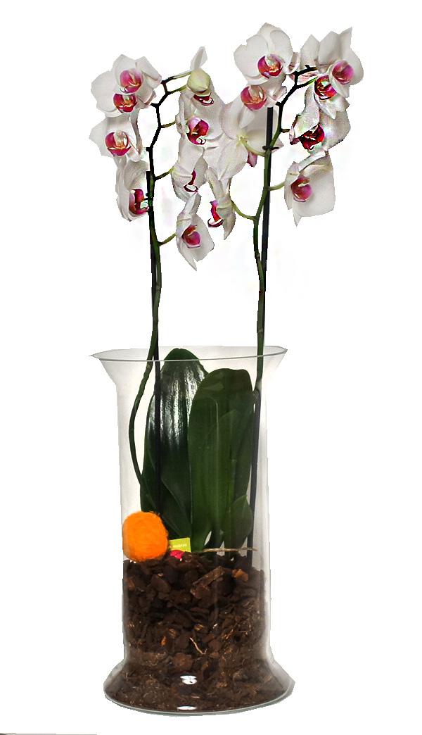 Стильная Орхидея