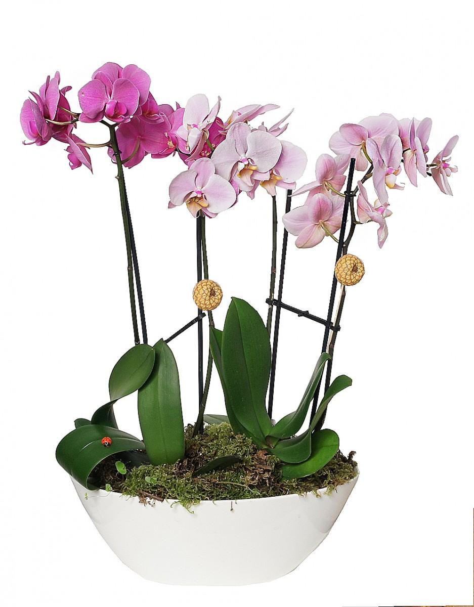 Орхидея в белом кашпо