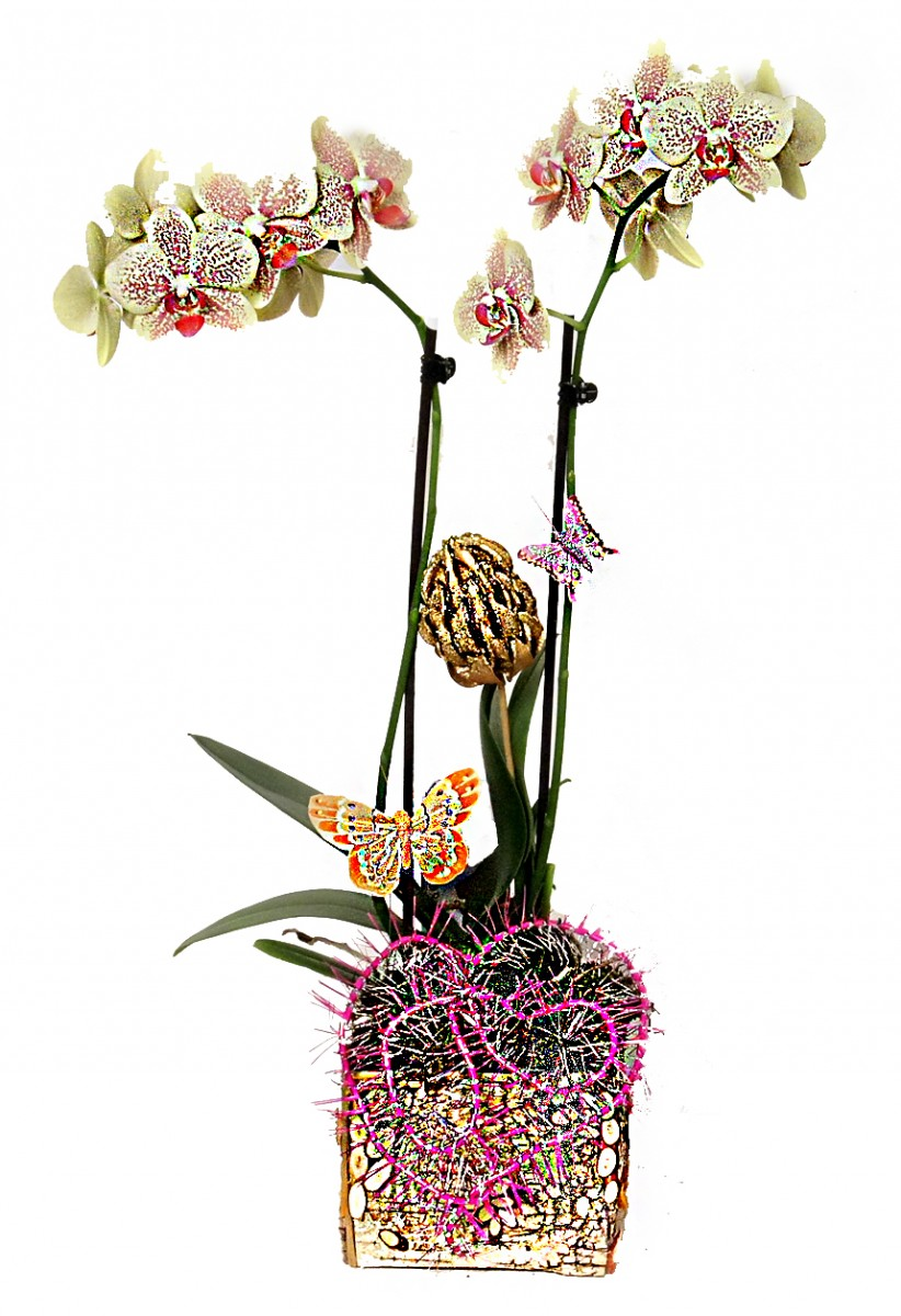 Новогодняя орхидея